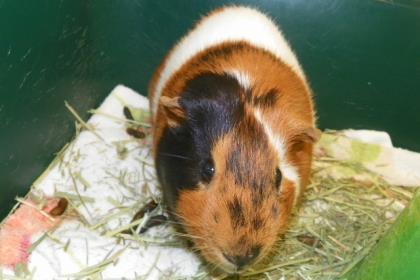 Rescue a hamster, gerbil or guinia pig (Jane Blatz)