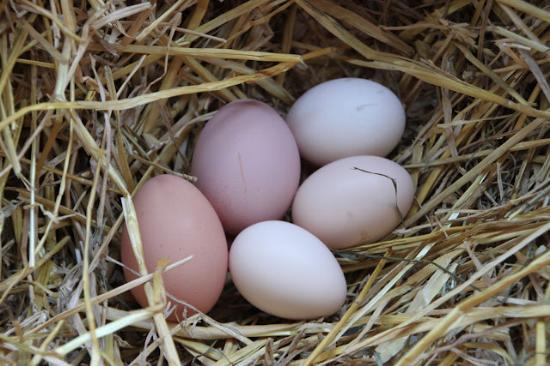 Fresh Eggs Every Month<br><i>(Marilyn Kelley)</i>